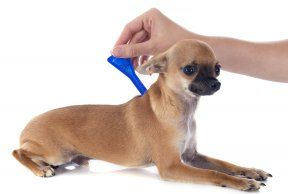 The Best Kind of Flea and Tick Medicine for dogs - Tufts Your Dog Article