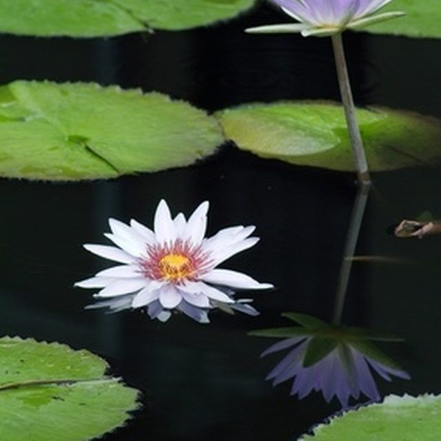 Use lily pads to reduce the occurrence  of plankton algae.