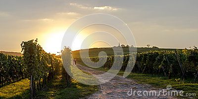 Walking path in the vineyards of the Altenberg hill (Wolxheim, Alsace, France) with two people in the far and flies dancing in the sunset.
