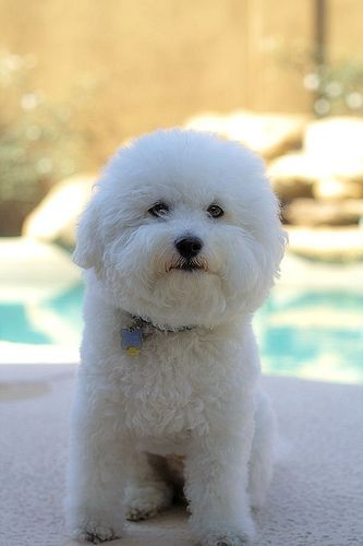 Small Hypoallergenic Dog Breeds | Hypoallergenic Dogs List - The Best Dog Breeds For People With ...