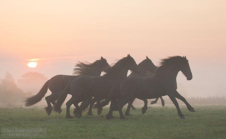 Friesians running at sunrise - Herd of Friesian horses running at sunrise