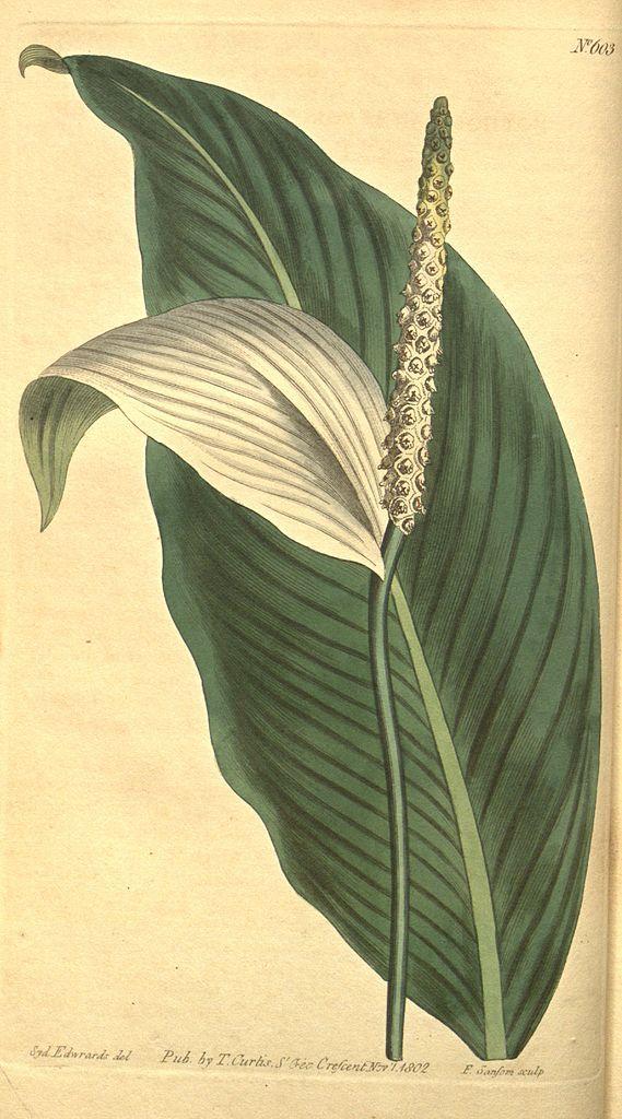Pothos cannaefolia (= Spathiphyllum cannifolium) - circa 1803