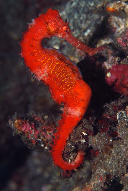 Seahorse - Indonesia