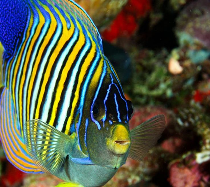 25 best ideas about beautiful tropical fish on pinterest for Saltwater pet fish