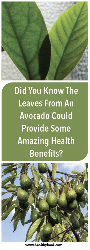 Avocado leaves possess numerous health benefits. They contain an abundance of substances useful for our body, such as flavonol, quercetin, glycoside, polyphenol, estragole, alpha and beta pinene, cineol, limonene, serotonin, flavonoids, etc. The flavonol compound in avocado can help the mechanism to protect the body from degenerative diseases, such as osteoarthritis. This brings the avocado …