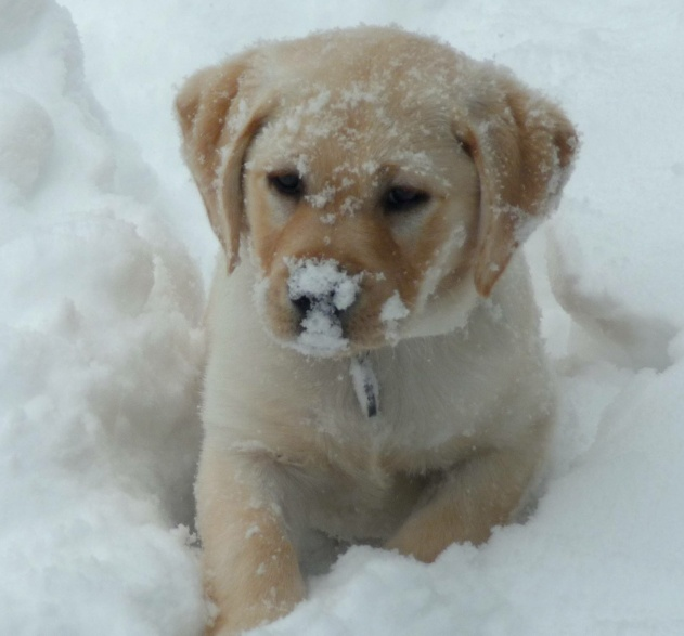 yellow lab puppy not lemon but cute as anything yellow pinterest the winter cant and. Black Bedroom Furniture Sets. Home Design Ideas