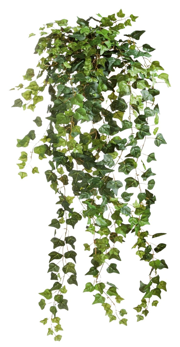 Ivy 001 - Clear Cut PNG by Travail-de-lame.deviantart.com on @deviantART