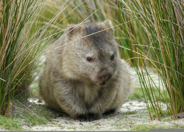 Diprotodontia - Common Wombat