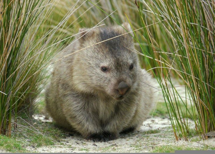 Diprotodontia - Common Wombat
