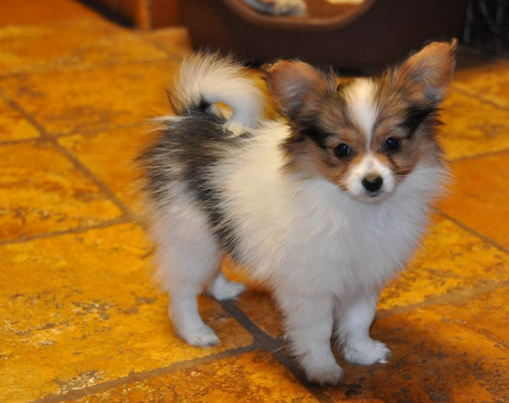papilion breed structure | Labels: Development , Growth Stages , Papillon Puppies