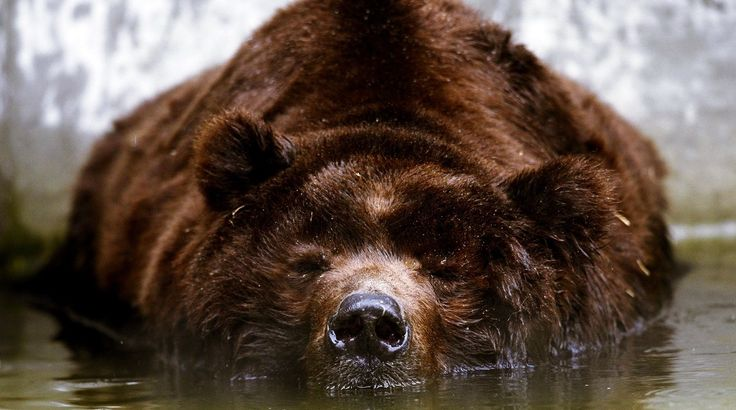 The grizzly bear (Ursus arctos ssp.) is any North American subspecies of brown bear, including the mainland grizzly (Ursus arctos horribilis), Kodiak bear (U. a. middendorffi), peninsular grizzly (U. a. gyas), and the recently extinct California grizzly (U. a. californicus†)[1][2] and Mexican grizzly bear (U. a. nelsoni†).