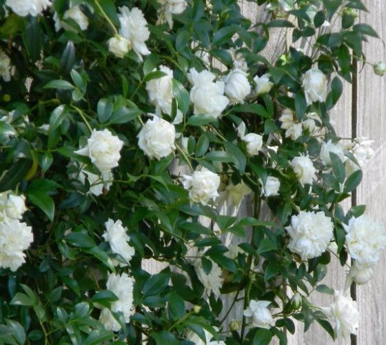Lady Banks White Rose Rosa banksiae alba plena A vigorous climber with rich green foliage on nearly thorn-free slender branches. Miniature, double, white blooms have a slight fragrance and are quite p