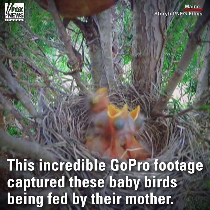 Watch: Video of a mother feeding her baby birds.