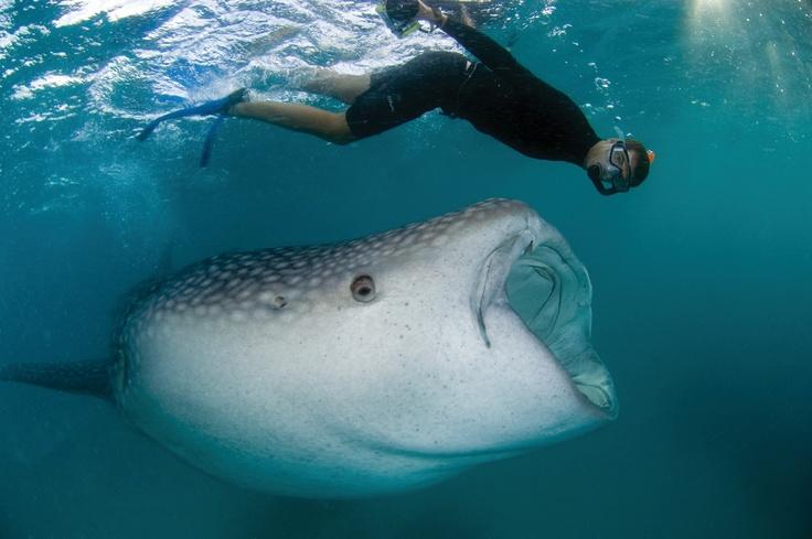 A Whale Shark Says Hello At Four Seasons Resort Maldives