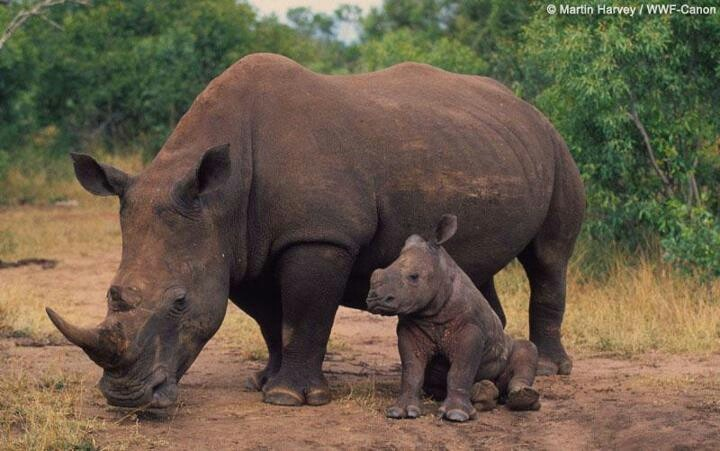 3 out 5 remaining rhino species are critically endangered