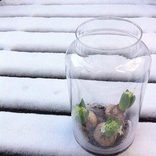 Hyacinth in glazen pot