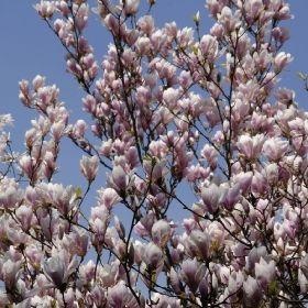 PS58.02.2 Pflanzen - Kübelpflanzen - Blühpflanzen - Tulpen-Magnolie 'Magnolia soulangiana'