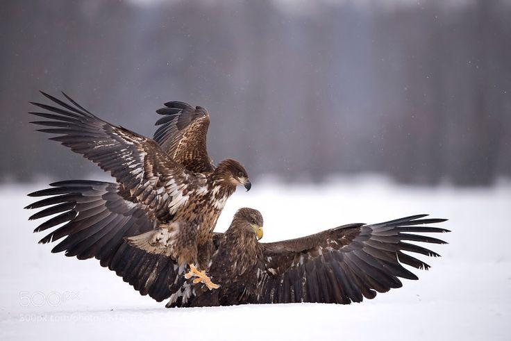 White-tailed eagles by fx13spain via http://ift.tt/2e7ABEk