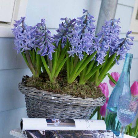 25+ ide terbaik bulbe jacinthe di pinterest | bulbe tulipe, bulbe