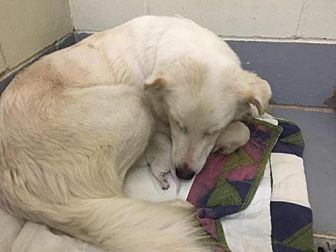 Pictures of Shayla a Golden Retriever/Great Pyrenees Mix for adoption in New York, NY who needs a loving home.