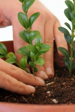 How to grow Bonsai trees from cuttings