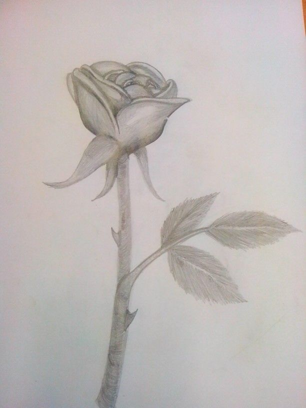 Rose for my doctor :3