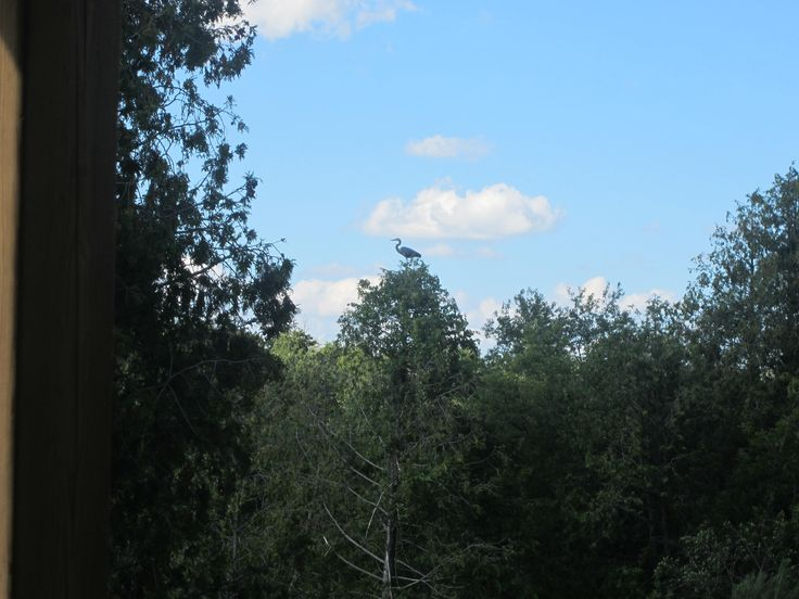 Scouting for dinner perhaps or maybe there is such a thing as a tree heron!  lol