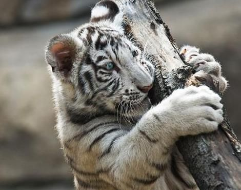 Picture 4 of 9 - Pictures and Images - White Tiger (Panthera tigris tigris) - Animals - A-Z Animals - Animal Facts Information, Pictures, Videos, Resources and Links