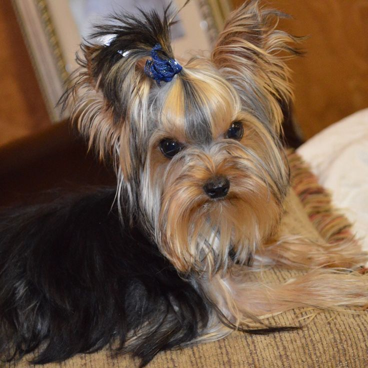 Yorkie puppies for sale in texas