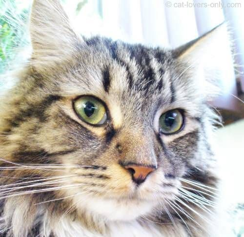 Facial markings in domestic cats