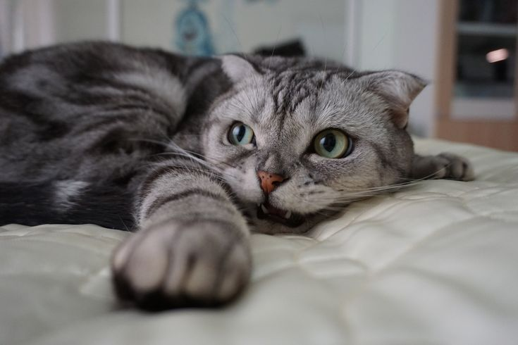 """Emma lies like this ready for sleep. Her round big eyes rotate in a lovely way. Look around to observe the surroundings for sleep. They are really a pair of beautiful big eyes. Emma这样趴着准备睡觉,她圆而又大的眼睛灵巧的转动着,四周看一看,观察下睡前的环境,真的是一双美丽的大眼睛啊! Emma: 'Thank you for the praise from all the friends, I love you all, meow~' Emma:""""谢谢朋友们的赞美,我爱你们,喵~"""""""