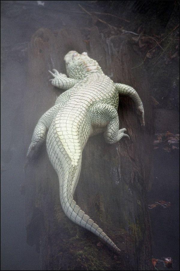 """""""Luna"""" A Rare Albino Alligator - Found In A Bayou In Louisiana"""