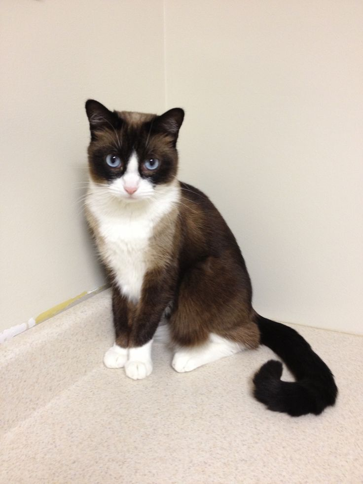 Snowshoe - Affectionate Cat Breeds