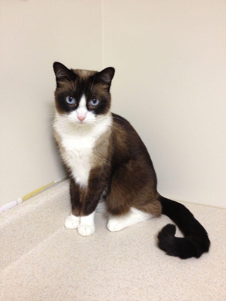Snowshoe Cat Tuxedo Kitten