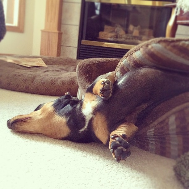 sleeping -- dachshunds have the ability to ... more than relax. It's a real talent!