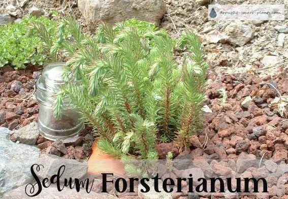 Sedum Forsterianum Forsters Stonecrop Sedum Sedum Plant Drought Tolerant Plants