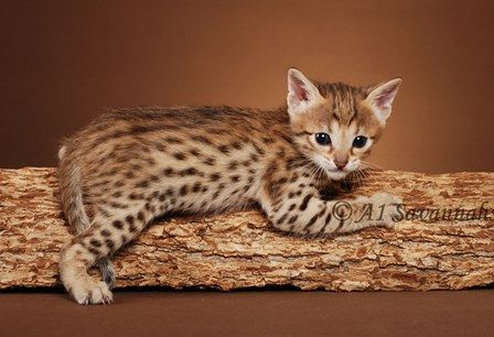 F5 Savannahs F5 Savannah Cats F5 Savannah Kittens
