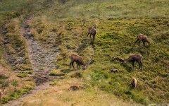 Chamoises, National Park Nízke Tatry (Low Tatras), Slovakia