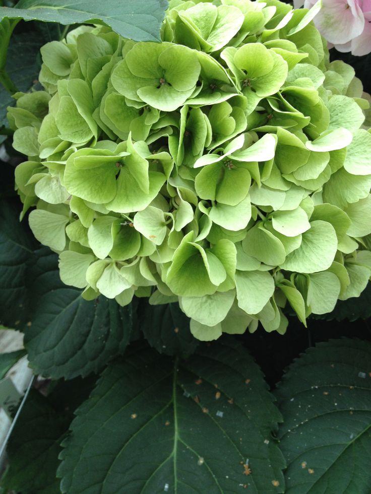 Hydrangea Verena Classic by Rob van Mastwijk
