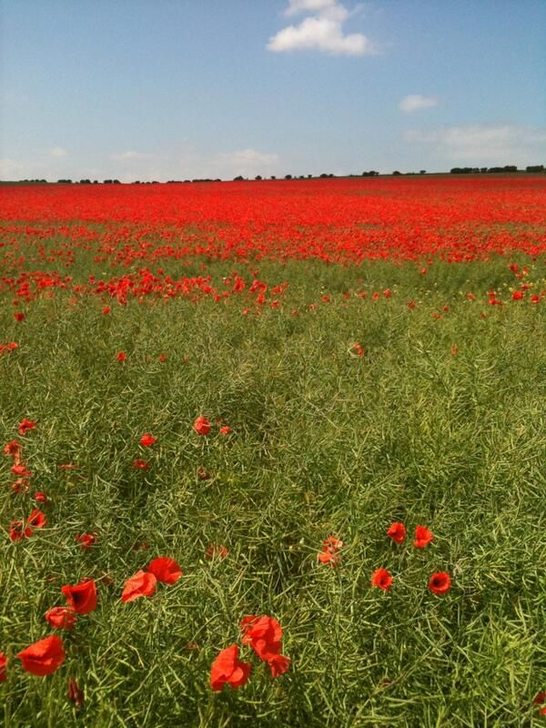 Magnificent field of corn poppies in Norfolk, England.