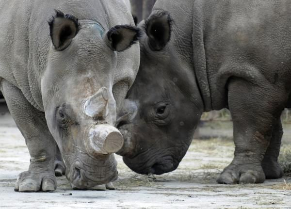 "Conservationists and scientists met in Kenya this week to come up with a last ditch plan to save the northern white rhinoceros from extinction. There are only five northern whites left on the planet -- three live in a 700-acre enclosure on the Ol Pejeta Conservancy in central Kenya, while the other two are kept in zoos in the Czech Republic and the US. ""The battle is to work out what is feasible scientifically in the short time still available to us,"" Richard Vigne, the chief executive of Ol…"