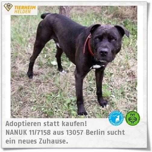Der Staffi-Mix Nanuk ist jetzt schon seit 4 Jahren im Tierheim Berlin :( http://www.tierheimhelden.de/hund/tierheim-berlin/staffordshire_mix/nanuk_117158/2775-0/  Nanuk besucht die tierheimeigene Hundeschule und hat daher einen gut ausgeprägten Grundgehorsam und eine gute Leinenführigkeit. Konsequent arbeiten muss der neue Besitzer allerdings noch an seinem Jagdtrieb. In Nanuks neuem Zuhause sollte er Einzelhund sein und ohne Kinder leben.
