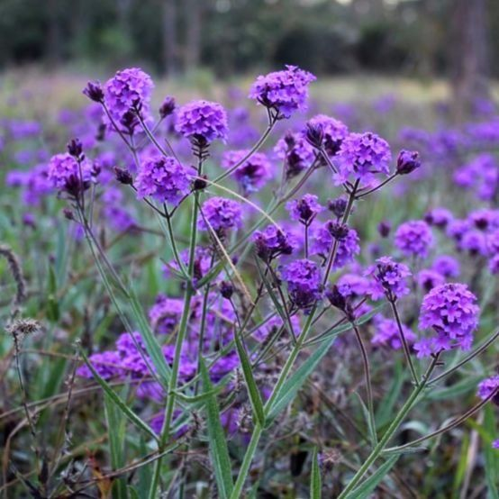 I walk in Tenterfield Park in the mornings and there are patches of these purple flowers everywhere.  It is like little purple floor rugs have been randomly scattered in the bush.  Such a pretty time of year.  #startthedaywithsomethingbeautiful