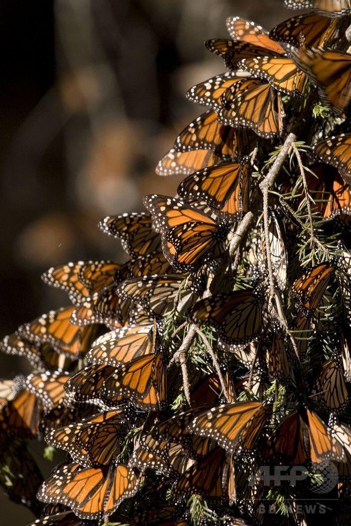 メキシコ・ミチョアカン(Michoacan)州の保護区で撮影されたオオカバマダラ(Monarch butterfly、学名Danaus plexippus、2008年12月10日撮影、資料写真)。(c)AFP/Mario Vazquez ▼27Aug2014AFP|オオカバマダラの個体数、20年間で90%減 米NPO http://www.afpbb.com/articles/-/3024181 #Monarch_butterfly #Danaus_plexippus