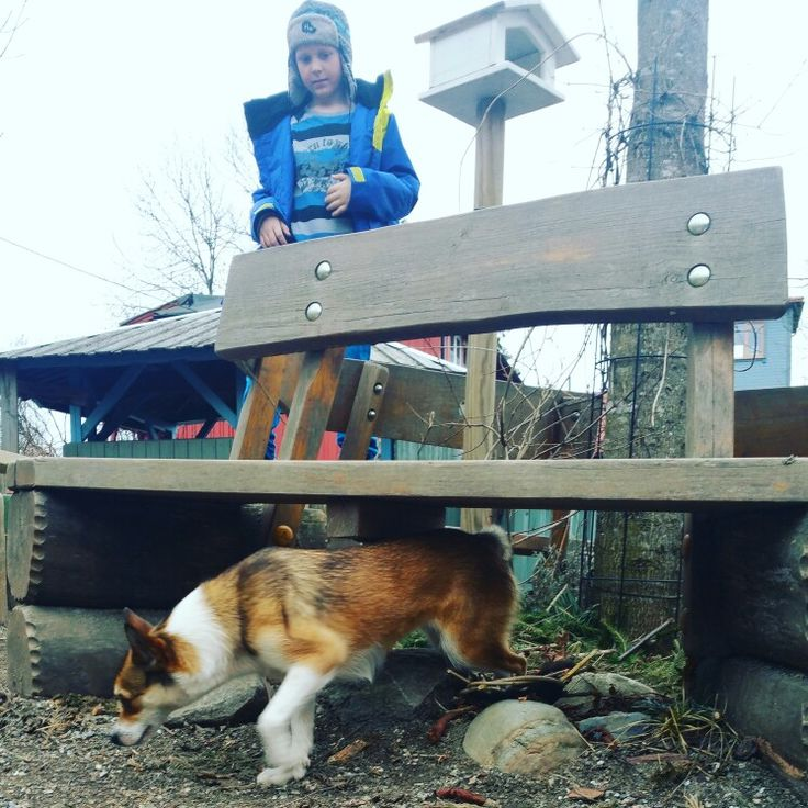 Norsk lundehund Frøya 16 months.