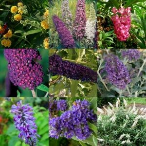 Contains the tri colour seeds! Buddleia plants x 8 Shrubs Mixed buddleja Butterfly Bush Tough Hedge Tree Screen Flowers $29.95