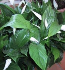 Traditional Feng Shui Plants