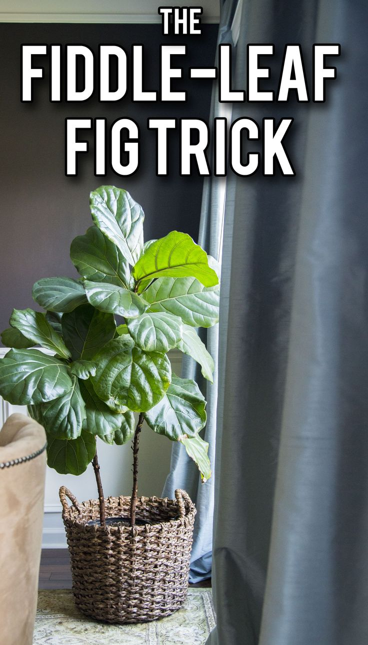 The simple way to keep your fiddle-leaf fig healthy and growing! Who knew it was so easy?