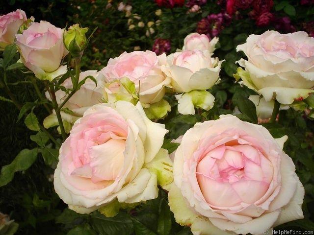 Honoré De Balzac Hybrid Tea Rose Hybrid Tea Roses Tea