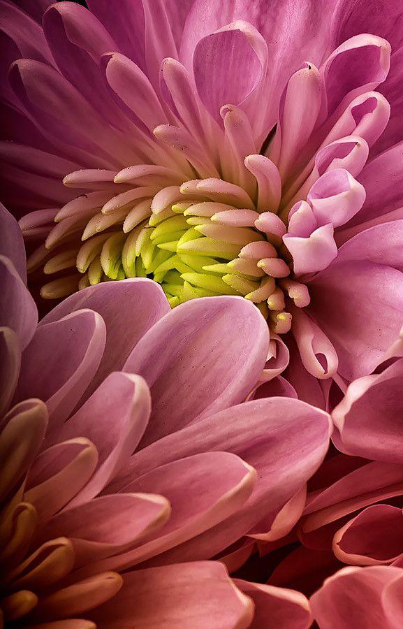 Crisantemo by Jose Luis Mg